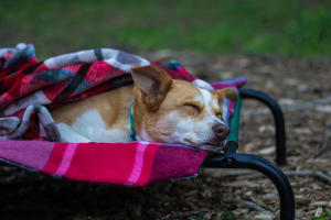 Dog Sleeping on a Camping Cot with a Blanket